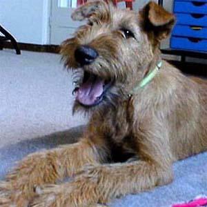 Bilder von Irish Terrier