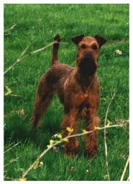 Irish Terrier Fotos