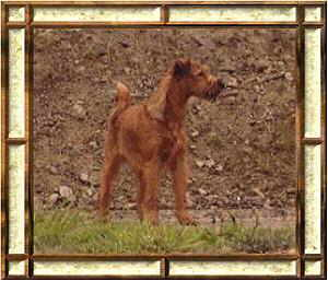 Irish Terrier Bilder