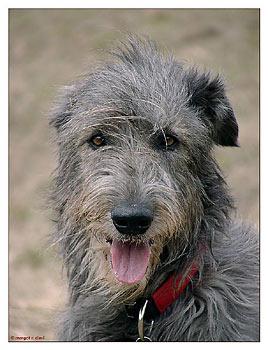 Irischer Wolfshund Bilder