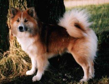 Islandhund Bilder