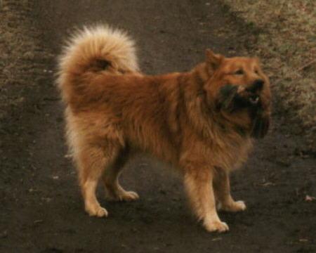 Islandhund Fotos