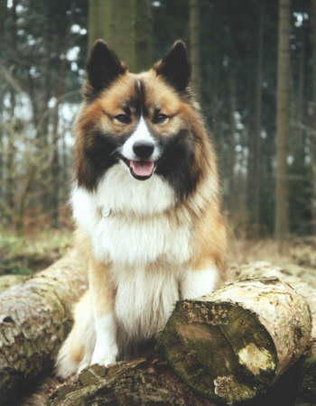 Bilder von Islandhund