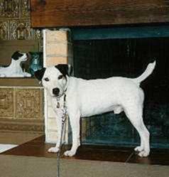 Parson Jack Russell Terrier Bilder