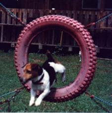 Parson Jack Russell Terrier Hundeschau
