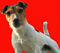 Fotos vom Parson Jack Russell Terrier Foto von