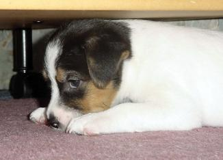 Parson Jack Russell Terrier Welpe Bilder