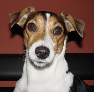 Parson Jack Russell Terrier Portrait