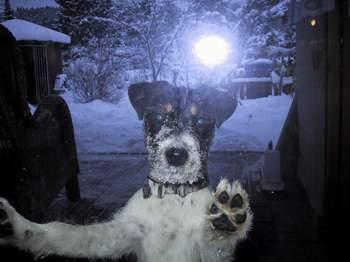 Parson Jack Russell Terrier im Schnee