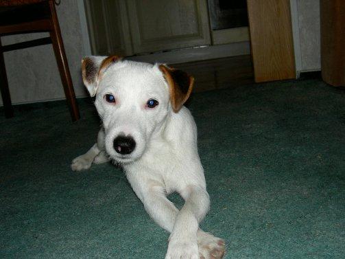 Parson Jack Russell Terrier Weibchen