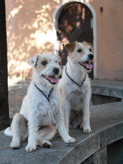 Parson Jack Russell Terrier im 2er Pack
