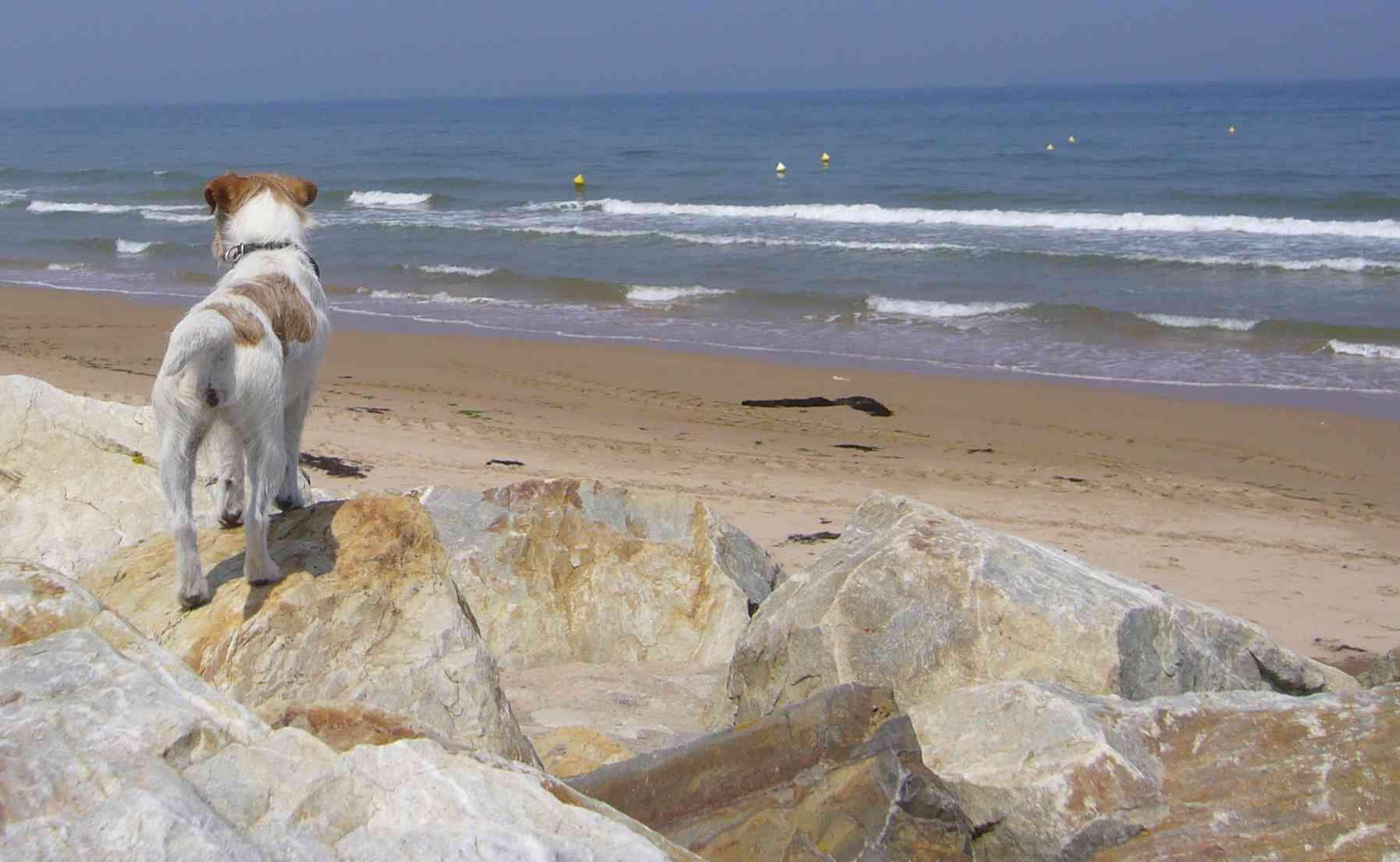 Foto von Parson Jack Russell Terrier