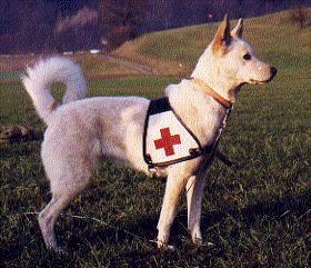 Sirah bei der Arbeit ( Kanaan Hund, Canaan Dog, Chien de Canaan )