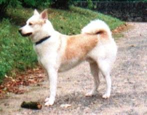 akim canaan rüde ( Kanaan Hund, Canaan Dog, Chien de Canaan )