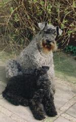 Kerry Blue Terrier Bilder