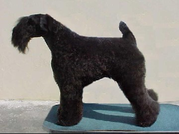Bilder von Kerry Blue Terrier