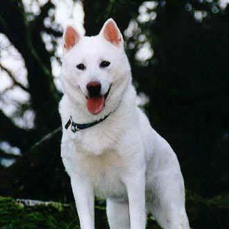 Kishu Hund Bilder