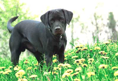 Labrador retriever Männchen