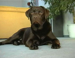 Labrador Retriever Bilder