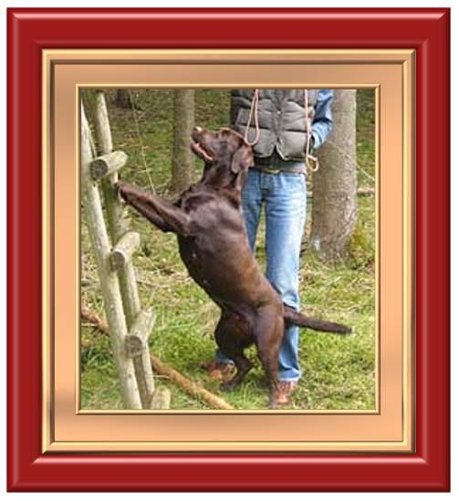 Labrador retriever beim spielen