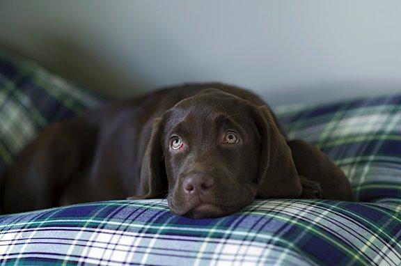 Labrador Retriever Bilder
