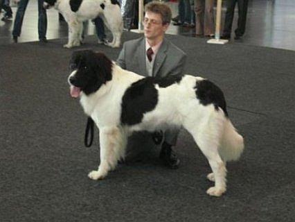Bilder von Landseer Hunde