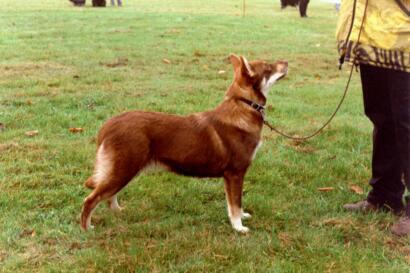 Lappländischer Rentierhund Bilder