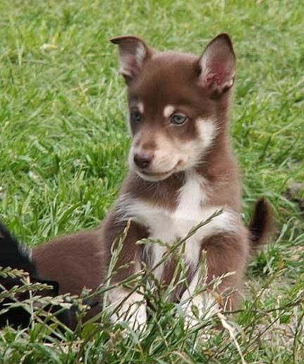 Lappländischer Rentierhund Welpe Bilder