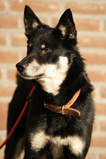 Lappländischer Rentierhund