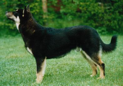 Lappländischer Rentierhund Fotos