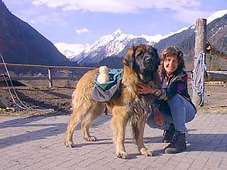 Leonberger Fotos
