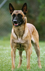 Malinois Fotos
