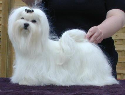 Malteser Hundeschau