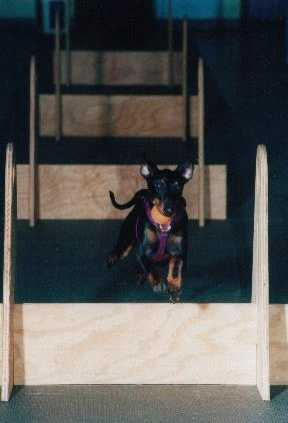 Manchester terrier foto
