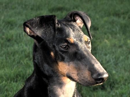 Manchester terrier Bilder