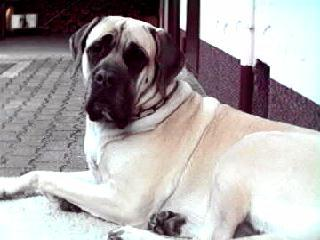 Mastiff Fotos