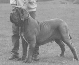 Mastino Napoletano Hundeschau