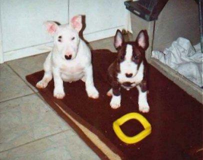Miniature Bull Terrier Bilder