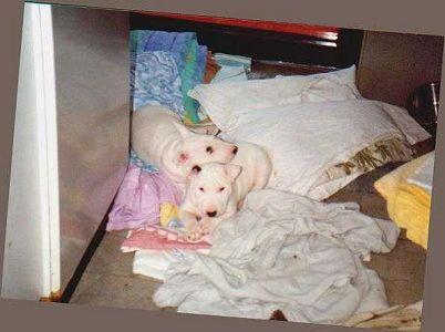 Miniature Bull Terrier Welpe Bilder