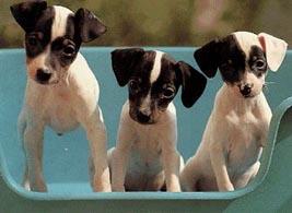 Bilder von Japanischer Terrier Welpe