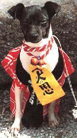 Japanischer Terrier Bilder