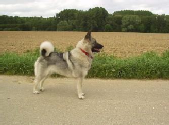 Norwegischer Elchhund Fotos