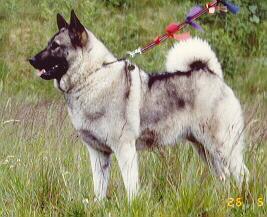 Norwegischer Elchhund Bilder