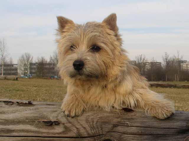 Norwich Terrier Bilder