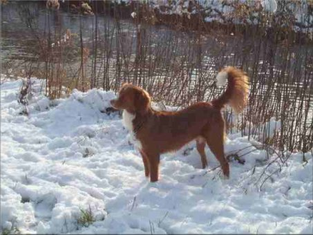 Nova Scotia Duck Tolling Retriever Bilder