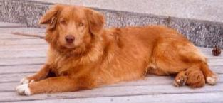 Nova Scotia Duck Tolling Retriever Fotos