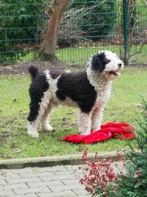 Spanischer Wasserhund auf dem Rasen