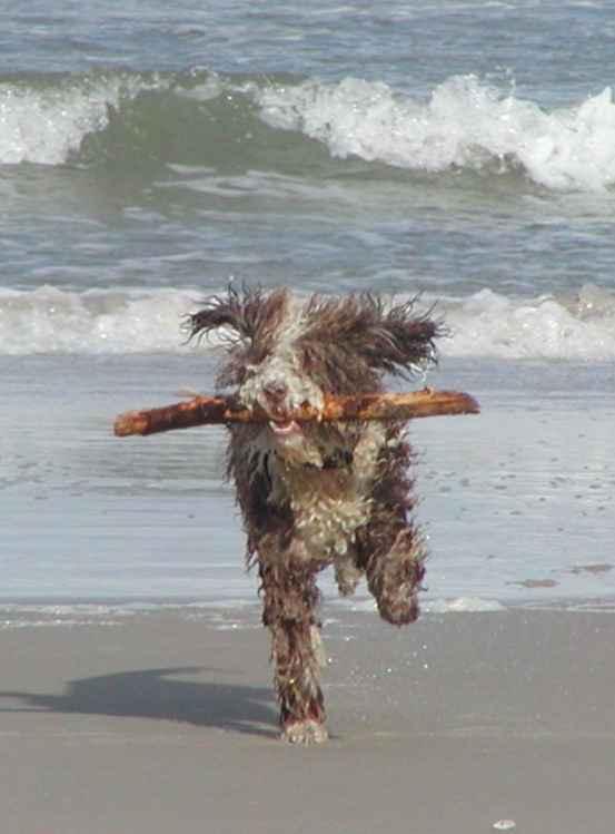 Spanischer Wasserhund beim toben