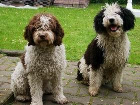 Spanischer Wasserhund im 2er Pack
