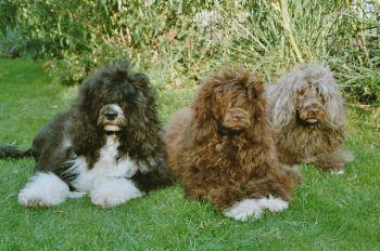 Spanischer Wasserhund im 3er Pack